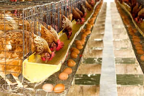 Volaille qui produit des œufs